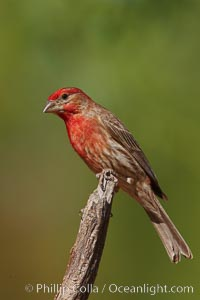 House finch, male. Amado, Arizona, USA, Carpodacus mexicanus, natural history stock photograph, photo id 22998