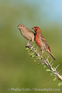 House finch, male. Amado, Arizona, USA, Carpodacus mexicanus, natural history stock photograph, photo id 23040