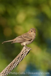 Image 22899, House finch, female. Amado, Arizona, USA, Carpodacus mexicanus