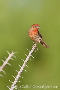 House finch, male. Amado, Arizona, USA, Carpodacus mexicanus, natural history stock photograph, photo id 22985