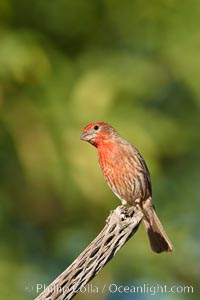 House finch, male. Amado, Arizona, USA, Carpodacus mexicanus, natural history stock photograph, photo id 22988