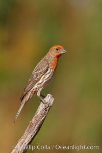 Image 22996, House finch, immature. Amado, Arizona, USA, Carpodacus mexicanus