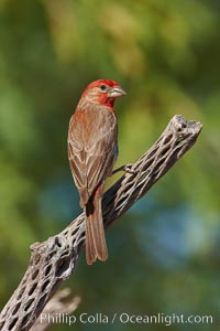 House finch, male. Amado, Arizona, USA, Carpodacus mexicanus, natural history stock photograph, photo id 22999