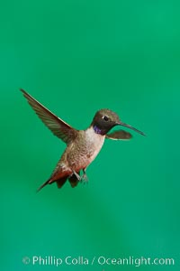 Hummingbird, Amado, Arizona