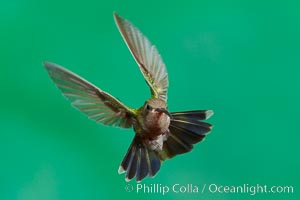 Hummingbird, Amado, Arizona