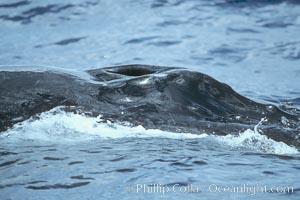 Humpback whale blowhole, Megaptera novaeangliae, Maui