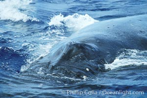 Humpback whale approaching showing blowhole splashguard, Megaptera novaeangliae, Maui