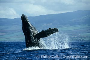 Image 00204, Humpback whale breaching. Maui, Hawaii, USA, Megaptera novaeangliae, Phillip Colla / HWRF, all rights reserved worldwide.   Keywords: action:animal:balaenopteridae:behavior:breach:breaching whale:cetacea:cetacean:creature:endangered:endangered threatened species:hawaii:hawaiian islands:hawaiian islands humpback whale national marine sanctuary:hump back whale:humpback:humpback whale:humpback whale breaching:humpbacked whale:jump:leap:mammal:marine:marine mammal:maui:megaptera:megaptera novaeangliae:mysticete:mysticeti:national marine sanctuaries:nature:north pacific humpback whale:novaeangliae:ocean:oceans:pacific:research:rorqual:sea:usa:whale:whale behavior:whale breaching:wildlife.   NOTE:  This photograph was taken during Hawaii Whale Research Foundation research activities conducted under NOAA/NMFS and State of Hawaii permit.  Its use is subject to certain restrictions.  Please contact the photographer for more information.