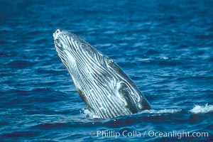 Humpback whale calf breaching. Maui, Hawaii, USA, Megaptera novaeangliae, natural history stock photograph, photo id 01445