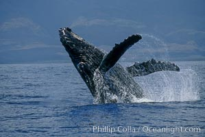 Humpback whale breaching with pectoral fins lifting spray from the ocean surface, Megaptera novaeangliae, Maui