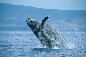 Humpback whale breaching. Maui, Hawaii, USA, Megaptera novaeangliae, natural history stock photograph, photo id 03875