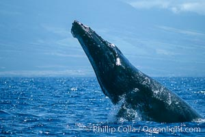 Image 03881, Humpback whale performing a head slap. Maui, Hawaii, USA, Megaptera novaeangliae, Phillip Colla / HWRF, all rights reserved worldwide. Keywords: action, animal, balaenopteridae, behavior, breach, breaching whale, cetacea, cetacean, creature, endangered, endangered threatened species, hawaii, hawaiian islands, hawaiian islands humpback whale national marine sanctuary, hump back whale, humpback, humpback whale, humpback whale breaching, humpbacked whale, jump, leap, mammal, marine, marine mammal, maui, megaptera, megaptera novaeangliae, mysticete, mysticeti, national marine sanctuaries, nature, north pacific humpback whale, novaeangliae, ocean, oceans, pacific, research, rorqual, sea, usa, whale, whale behavior, whale breaching, wildlife.   NOTE:  This photograph was taken during Hawaii Whale Research Foundation research activities conducted under NOAA/NMFS and State of Hawaii permit.   Its use is subject to certain restrictions.   Please contact the photographer for more information.