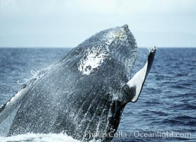 Humpback whale breaching. Maui, Hawaii, USA, Megaptera novaeangliae, natural history stock photograph, photo id 03898