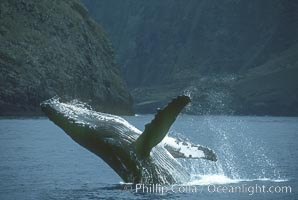 Humpback whale breaching. Molokai, Hawaii, USA, Megaptera novaeangliae, natural history stock photograph, photo id 03902