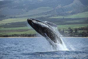 Humpback whale breaching. Maui, Hawaii, USA, Megaptera novaeangliae, natural history stock photograph, photo id 03926