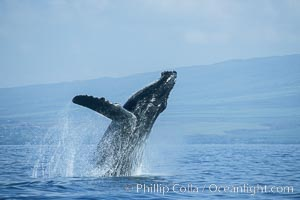 Humpback whale breaching. Maui, Hawaii, USA, Megaptera novaeangliae, natural history stock photograph, photo id 03938
