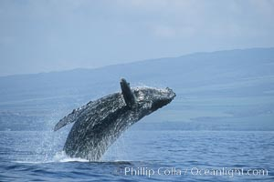 Humpback whale breaching. Maui, Hawaii, USA, Megaptera novaeangliae, natural history stock photograph, photo id 03941