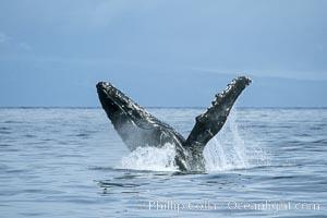 Humpback whale breaching, Megaptera novaeangliae, Maui