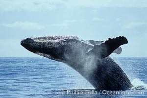 North Pacific humpback whale, breach, Megaptera novaeangliae, Maui