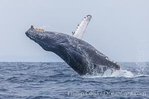 Humpback whale breaching, pectoral fin and rostrom visible. San Diego, California, USA, Megaptera novaeangliae, natural history stock photograph, photo id 27956