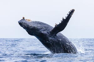 Humpback whale breaching, pectoral fin and rostrom visible. San Diego, California, USA, Megaptera novaeangliae, natural history stock photograph, photo id 27962