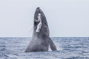 Humpback whale breaching, pectoral fin and rostrom visible, Megaptera novaeangliae, San Diego, California