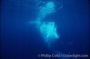 Bubble trail of North Pacific humpback whale, Megaptera novaeangliae, Maui