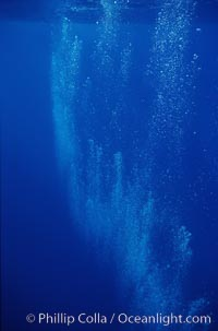 North Pacific humpback whale, bubble trail, Megaptera novaeangliae, Maui