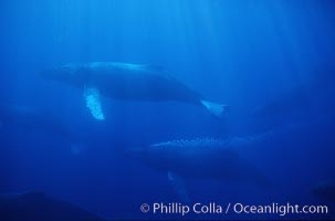 North Pacific humpback whale, active group w/ bubble trail, Megaptera novaeangliae, Maui
