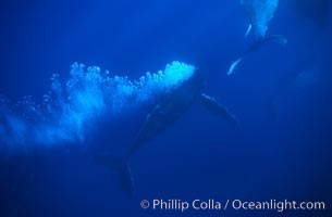 North Pacific humpback whale, escort bubble trailing, Megaptera novaeangliae, Maui