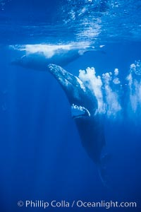 Adult male humpback whale bubble streaming underwater.  The male escort humpback whale seen here is emitting a curtain of bubbles as it swims behind a female (left) during a competitive group.  The bubble curtain may be meant as warning or visual obstruction to other male whales interested in the mother, Megaptera novaeangliae, Maui