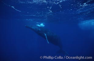 Humpback whale (male), bubble blowing while surfacing, Megaptera novaeangliae, Maui