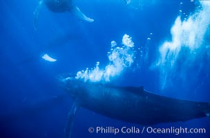 Primary escort male humpback whale bubble streaming during competitive group socializing.  This primary escort is swimming behind a female. The bubble curtain may be a form of intimidation towards other male escorts that are interested in the female, Megaptera novaeangliae, Maui