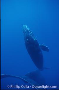 Humpback whale calf, releasing bubbles, Megaptera novaeangliae, Maui