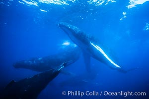 Humpback whale competitive group, several adult male escort whales swimming closely together as part of a larger competitive group, Megaptera novaeangliae, Maui