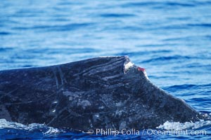 Humpback whale dorsal fin damaged during competitive group socializing. Maui, Hawaii, USA, Megaptera novaeangliae, natural history stock photograph, photo id 04334