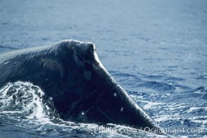 Humpback whale dorsal fin and ridge showing scarring acquired in competitive group socializing, Megaptera novaeangliae, Maui