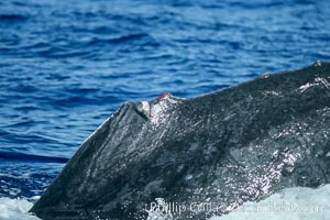 Humpback whale dorsal fin damaged during competitive group socializing, Megaptera novaeangliae, Maui