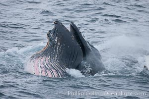 Humpback whale lunge feeding on Antarctic krill, with mouth open and baleen visible.  The humbpack's pink throat grooves are seen as its pleated throat becomes fully distended as the whale fills its mouth with krill and water.  The water will be pushed out, while the baleen strains and retains the small krill, Megaptera novaeangliae, Gerlache Strait