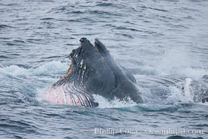 Humpback whale lunge feeding on Antarctic krill, with mouth open and baleen visible.  The humbpack's pink throat grooves are seen as its pleated throat becomes fully distended as the whale fills its mouth with krill and water.  The water will be pushed out, while the baleen strains and retains the small krill. Gerlache Strait, Antarctic Peninsula, Antarctica, Megaptera novaeangliae, natural history stock photograph, photo id 25681