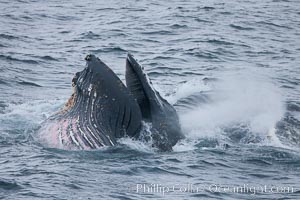 Humpback whale lunge feeding on Antarctic krill, with mouth open and baleen visible.  The humbpack's pink throat grooves are seen as its pleated throat becomes fully distended as the whale fills its mouth with krill and water.  The water will be pushed out, while the baleen strains and retains the small krill. Gerlache Strait, Antarctic Peninsula, Antarctica, Megaptera novaeangliae, natural history stock photograph, photo id 25683