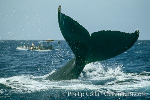 North Pacific humpback whale, fluke help aloft above the water, Megaptera novaeangliae, Maui