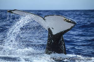 Humpback whale fluking up, raising tail before diving, ventral aspect of fluke visible, Megaptera novaeangliae, Maui
