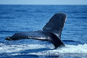 Humpback whale fluking up, raising tail before diving,, Megaptera novaeangliae, Maui