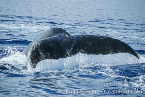 Humpback whale fluking up, raising tail before diving, Megaptera novaeangliae, Maui