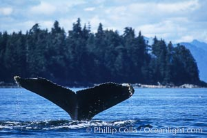 Humpback whale raising its fluke (tail) prior to a dive, Megaptera novaeangliae, Frederick Sound