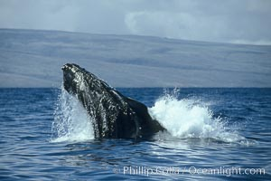 Humpback whale lunging out of the water at it reaches the surface, exhaling in a burst of bubbles. Maui, Hawaii, USA, Megaptera novaeangliae, natural history stock photograph, photo id 00230