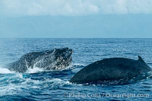 North Pacific humpback whale, head lunge and round out, Megaptera novaeangliae, Maui