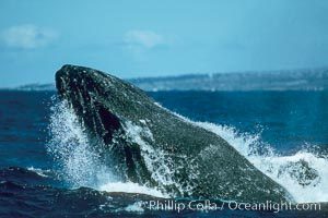 Humpback whale lunging out of the water at it reaches the surface, exhaling in a burst of bubbles. Maui, Hawaii, USA, Megaptera novaeangliae, natural history stock photograph, photo id 01356