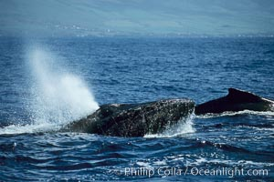 Humpback whale, head lunge in active group. Maui, Hawaii, USA, Megaptera novaeangliae, natural history stock photograph, photo id 04007